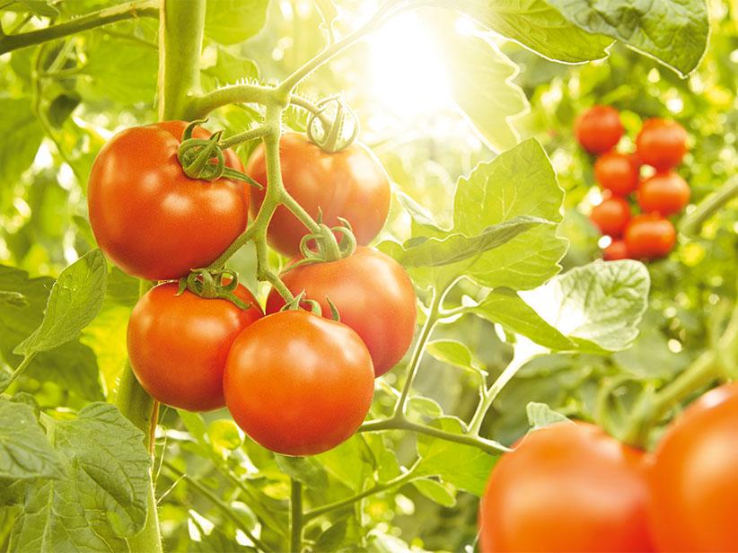 tomaten s en und pflanzen tipps und hinweise. Black Bedroom Furniture Sets. Home Design Ideas