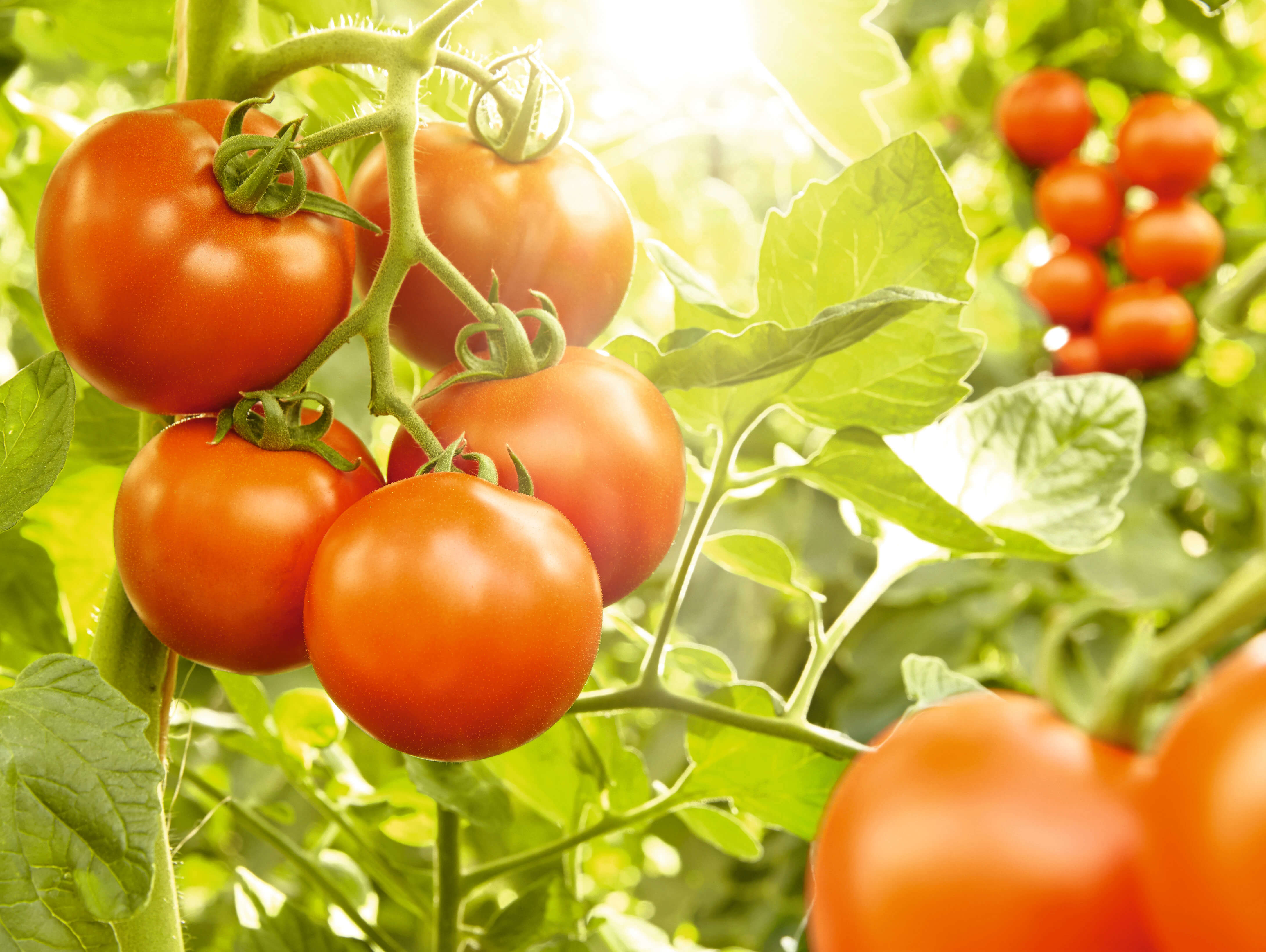 Tomaten Saen Und Pflanzen Tipps Und Hinweise Lidl De